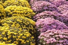Blumen der Allerseelen Stockbilder