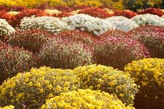 Blumen der Allerseelen Lizenzfreies Stockfoto