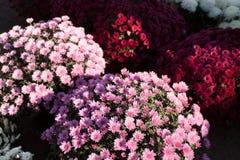 Blumen der Allerseelen Lizenzfreies Stockbild