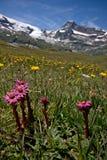 Blumen in der alpinen Wiese Stockbild