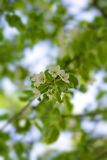 Blumen der Apfelbäume Stockfotos