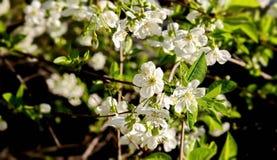 Blumen der Aprikose Lizenzfreie Stockfotos