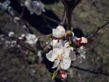 Blumen der Aprikose Stockfoto