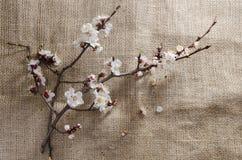Blumen der Aprikose im April Stockfoto