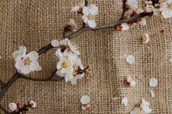 Blumen der Aprikose im April Lizenzfreies Stockbild