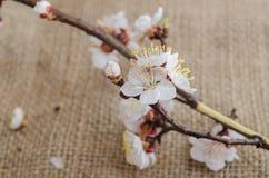 Blumen der Aprikose im April Lizenzfreie Stockbilder