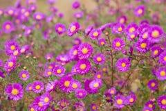Blumen der Astermehrjährigen pflanze Stockfotos