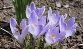 Blumen der beschäftigten Biene und des Krokusses lizenzfreies stockbild