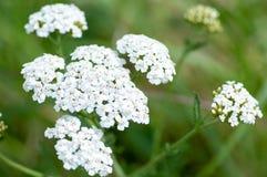 Blumen der Betriebsporträt-Schafgarbe Lizenzfreies Stockfoto
