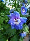 Blumen der blauen Sterne nach Regen Stockfoto