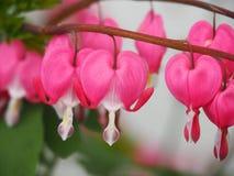 Blumen der blutenden Herzen Stockfotografie