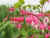 Blumen der blutenden Herzen Lizenzfreie Stockfotos