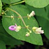Blumen der Bohnen. Stockfotos