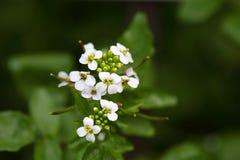 Blumen der Brunnenkresse (Kapuzinerkäse officinale) Lizenzfreies Stockbild