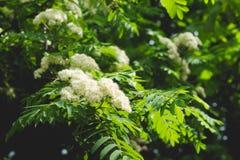 Blumen der Eberesche auf dem Hintergrund ihrer Blätter Lizenzfreie Stockfotografie