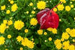 Blumen der gelben Herbstchrysantheme und der Herbsttannen im Garten Stockbild