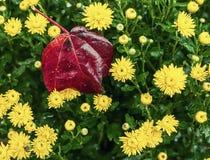 Blumen der gelben Herbstchrysantheme und der Herbsttannen im Garten Stockfotos