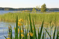 Blumen der gelben Iris blühen durch den See stockbilder