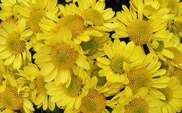 Blumen der gelben Kamille im Garten, Litauen Lizenzfreie Stockfotografie