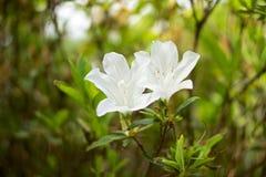 Blumen in der Insel von Sao Miguel lizenzfreie stockfotos