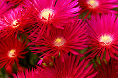 Blumen in der Insel von Sao Miguel stockfotos