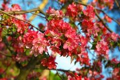 Blumen der japanischen Quitte Stockfoto
