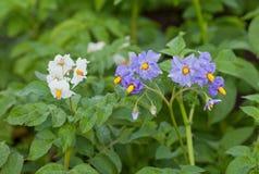 Blumen der Kartoffel Stockfotos
