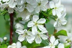 Blumen der Kirschblüten Stockfotografie
