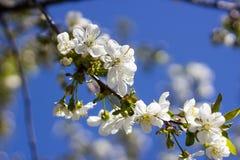 Blumen der Kirschblüten auf einer Frühlingstagesnahaufnahme Stockfoto