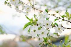 Blumen der Kirschblüten an einem Frühlingstag Lizenzfreies Stockfoto
