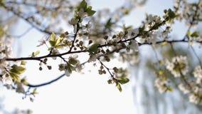 Blumen der Kirschblüten an einem Frühlingstag stock footage