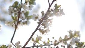 Blumen der Kirschblüten an einem Frühlingstag stock video footage