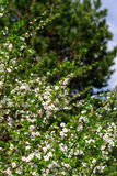 Blumen der Kirschblüten an einem Frühlingstag Lizenzfreies Stockbild