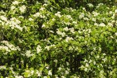 Blumen der Kirschblüten an einem Frühlingstag Stockbild
