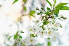 Blumen der Kirschblüten an einem Frühlingstag Stockfotografie