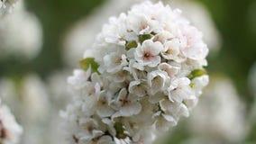 Blumen der Kirschblüten an einem Frühlingstag Ukraine stock footage