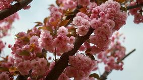 Blumen der Kirschblüten an einem Frühlingstag Ukraine stock video footage
