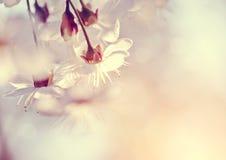 Blumen der Kirschblüten im Frühjahr Lizenzfreies Stockfoto