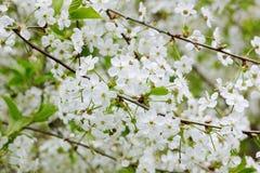 Blumen der Kirsche Stockfotos
