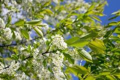 Blumen der Kirsche auf Hintergrund des blauen Himmels im Frühjahr Stockfotografie
