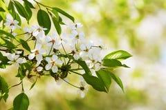 Blumen der Kirsche in großem Maße gegen grüne Blätter Stockfotos