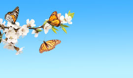 Blumen der Kirsche und der Monarchfalter stockfotografie