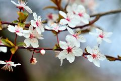 Blumen der Kirschpflaumennahaufnahme auf Himmelhintergrund Stockbild