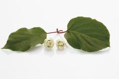 Blumen der Kiwi (Actinidia) Stockfoto