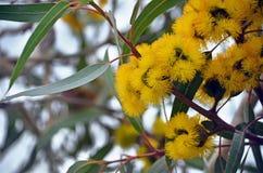 Blumen der mallee Eukalyptus Eukalyptus erythrocorys stockbild