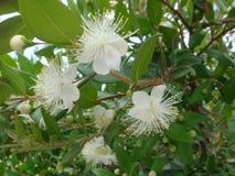 Blumen der Myrte Lizenzfreies Stockbild