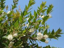 Blumen der Myrte Stockfoto