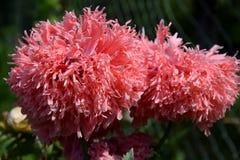 Blumen der orientalischen Mohnblume Lizenzfreies Stockbild
