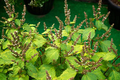 Blumen der Patschulipflanzenanlage Lizenzfreies Stockfoto