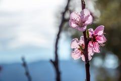 Blumen der Pfirsichblüte auf dem Gebiet lizenzfreies stockfoto